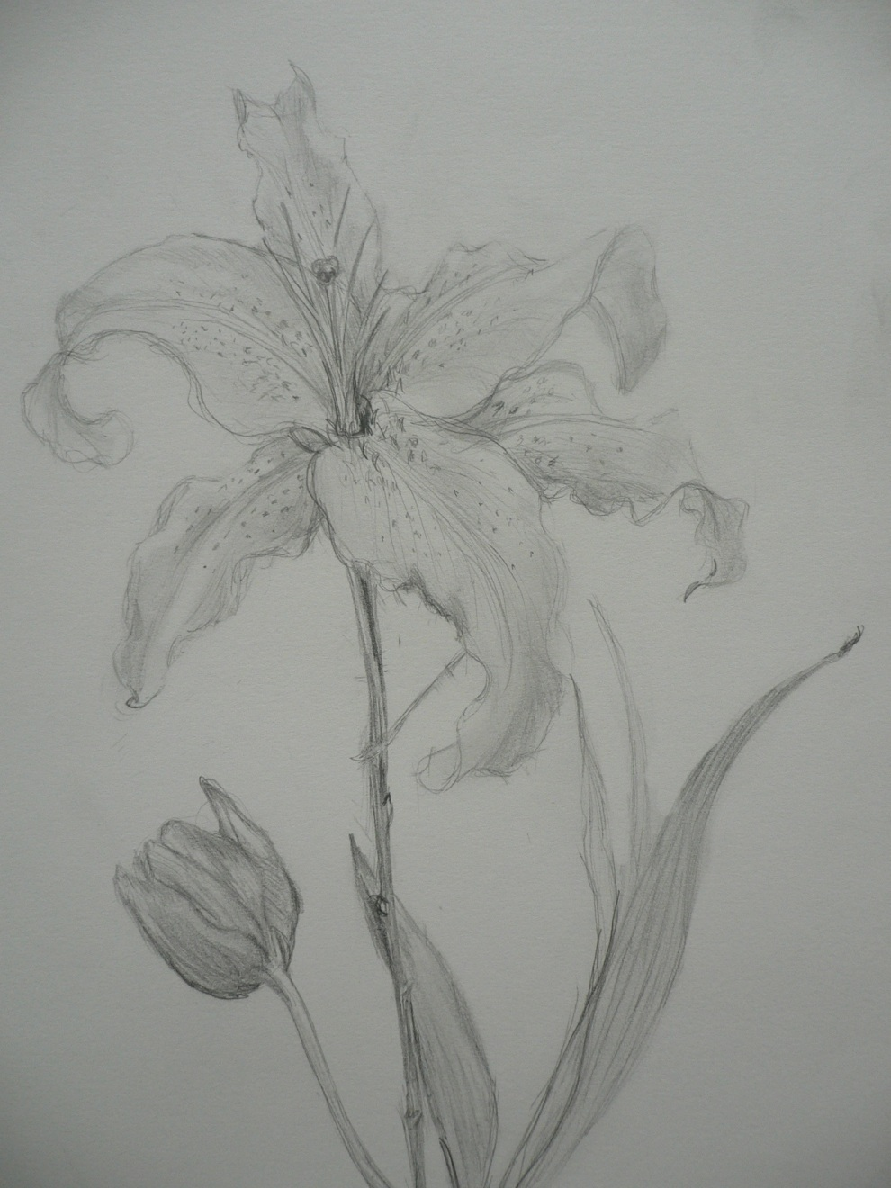"""Stargazer Lilly"", pencil on paper, 2001-2."